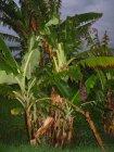Der Bananenernte steht nichts mehr entgegen. 2010 gepflanzt und jetzt kann jeder Zeit geerntet werden